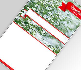 白花カスミ草
